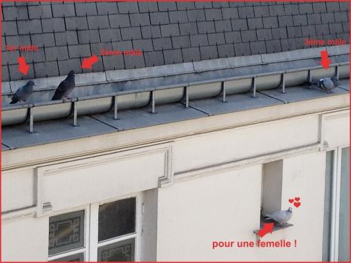 Trois pigeons et une pigeonne à Paris