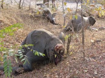 119011-afrique-stop-au-massacre-des-elephants
